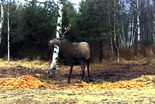 Вебкамера в лесу с оленями