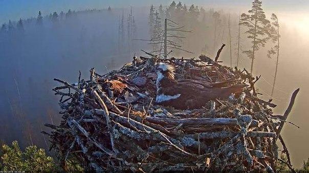 Вебкамера в гнезде скопы