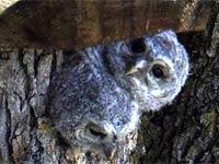 Вебкамера в гнезде совы