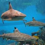 Вебкамера в аквариуме с акулами
