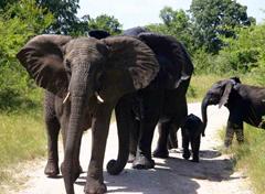 Вебкамера со слонами в Африке
